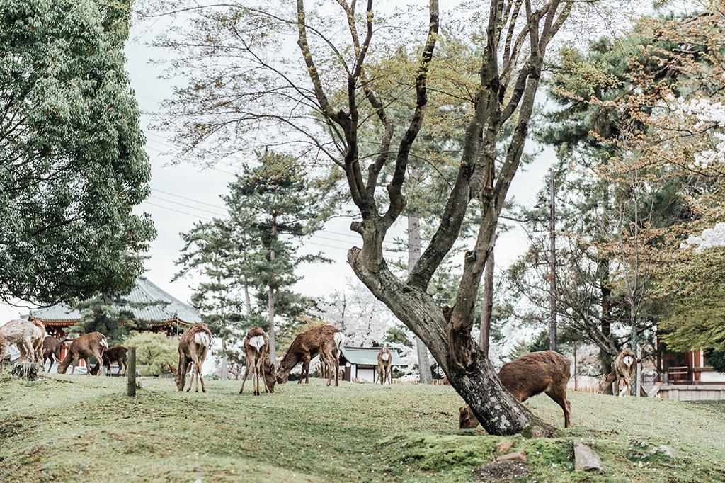【京都日本拍婚紗】景點 – 奈良公園